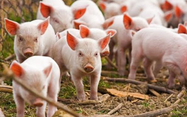 فايروس جي 4 - ينتقل من الخنازير إلى الإنسان